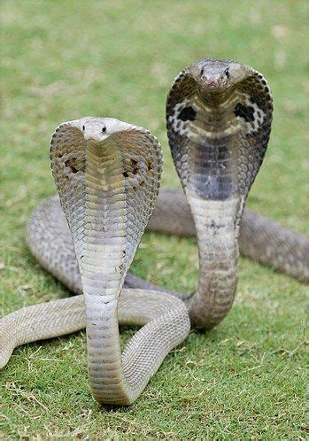 Cobra species cobras? are gentle creatures if you have the