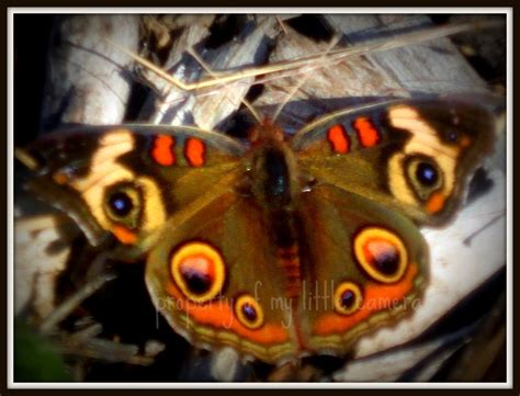 17 Best images about Moths and Butterflies on Pinterest