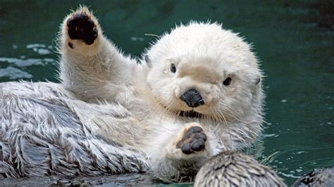 White Otters: Learn about these new and weird Otters