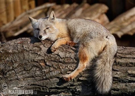 Vulpes corsac Pictures, Corsac Fox Images, Nature Wildlife