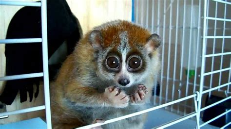 """Do you want to know more about Sonya? (slow loris - """"The"""
