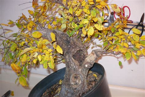 How To Care For A Bonsai Tree If Turning Yellow | Bonsai