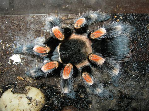 File:Brachypelma smithi, a newly moulted female