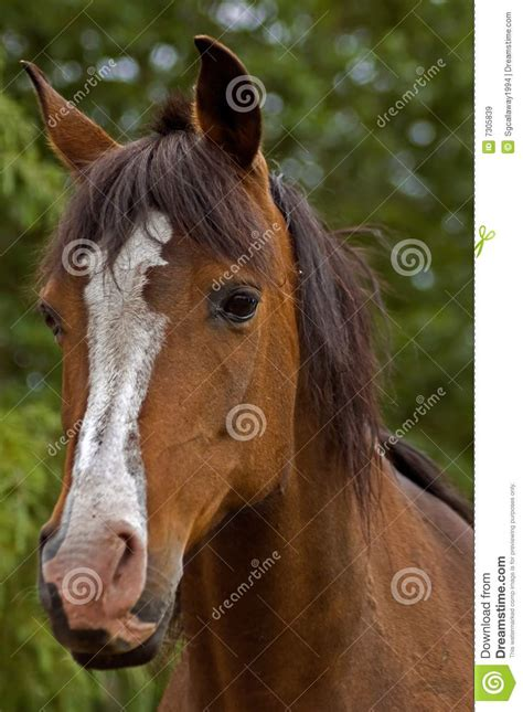 Bay Horse Front View Royalty Free Stock Images - Image