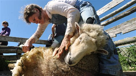 Can you be your own sheep shearer?   Hello Homestead