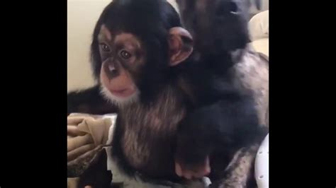 Baby chimpanzee is playing with a dog - YouTube