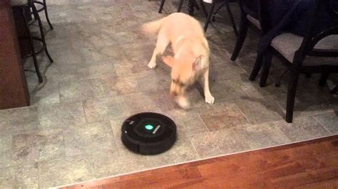 IRobot Roomba 770 and our Dog - YouTube