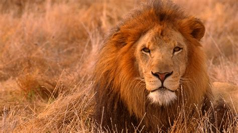 Lion HD Wallpapers Free Pictures Download Photos - HD