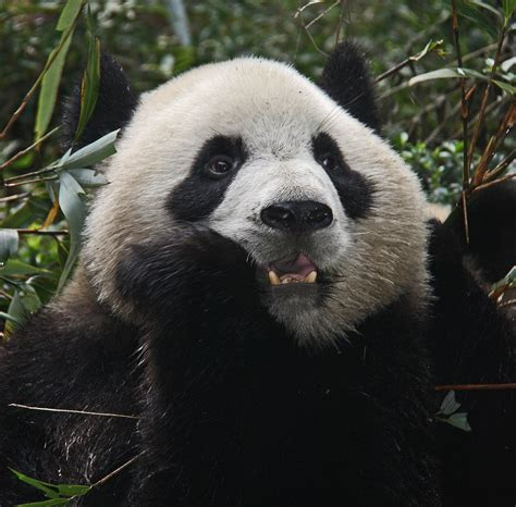 Dutchie on the Road: Pandabear Rules!